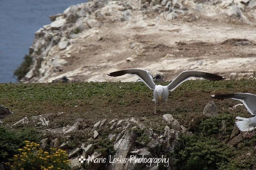 gull at Bird Island