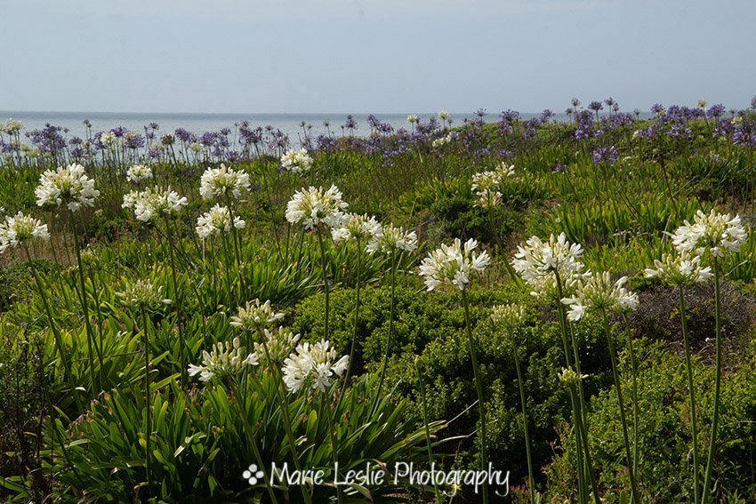 Lilies on the Sea