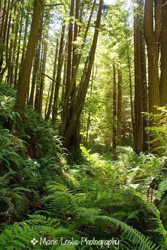 Redwood Rain Forest