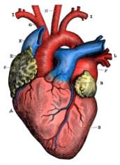 Heart illustration, full color