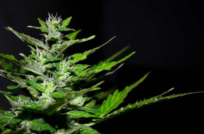 Cannabis has long been burdened by controversy. It was listed as a Schedule I Drug category by the FDA (Food and Drug Administration). A Schedule I drug has been declared to have no medical benefit and also has a high potential of abuse. Neither of those statements are true about cannabis
