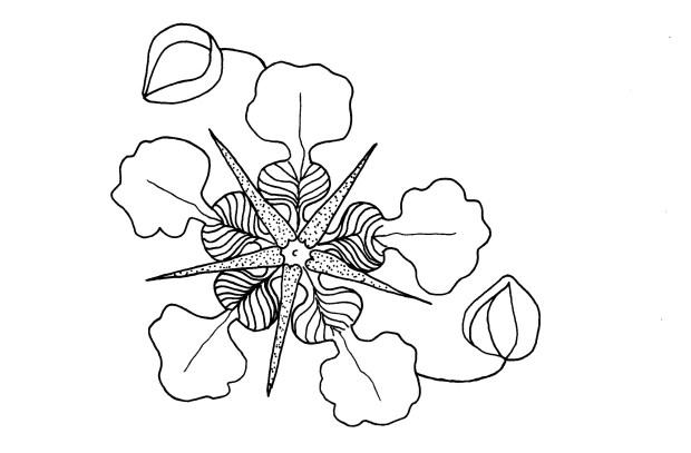 cupuaçu 01 flor PB