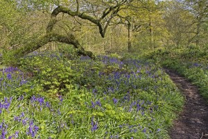 Bluebells in Piddles wood