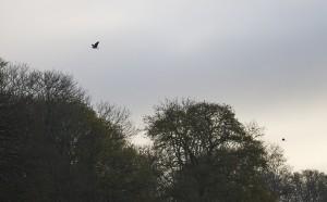 Heron & Egret above the Heronry