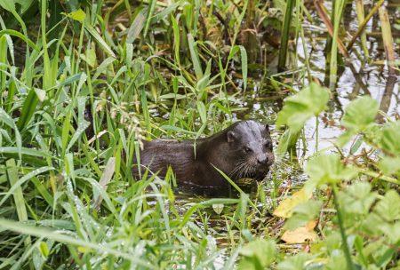 Otter_03