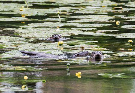 Otter_07