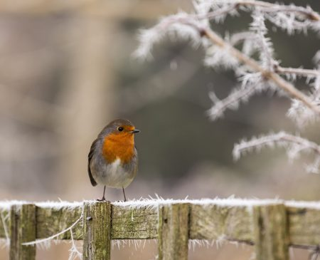 Robin in the frost