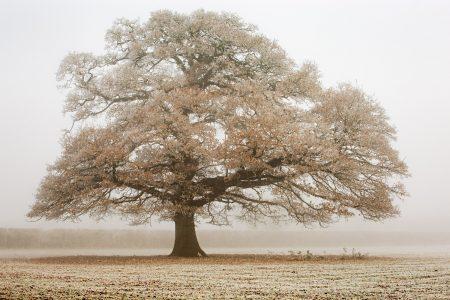 Favourite Oak tree close to home