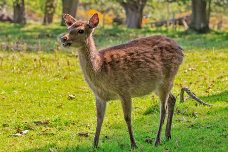 Young Sika hind