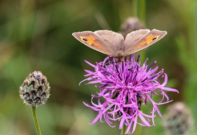 Meadow Brown on Knapweed