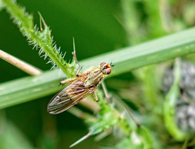 Not sure, some sort of Horse fly?