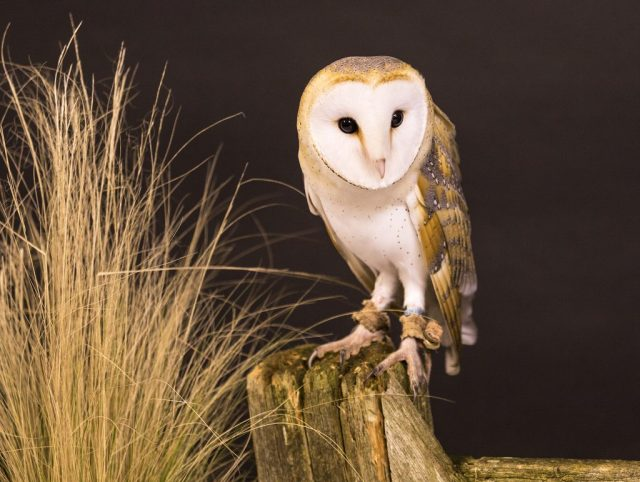 Barn Owl - ISO 1000 F5 1/40sec 70-300mm lens at 214mm