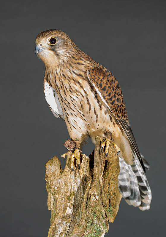 Kestrel - Studio Flash ISO 100 F5.6 1/60sec