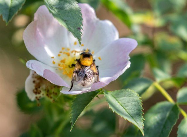 Hoverfly (probably Volucella bombylans) on Dog Rose