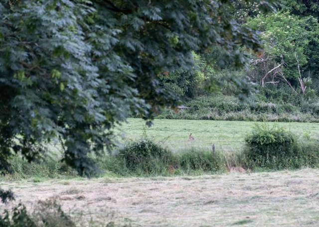 Distant Hare