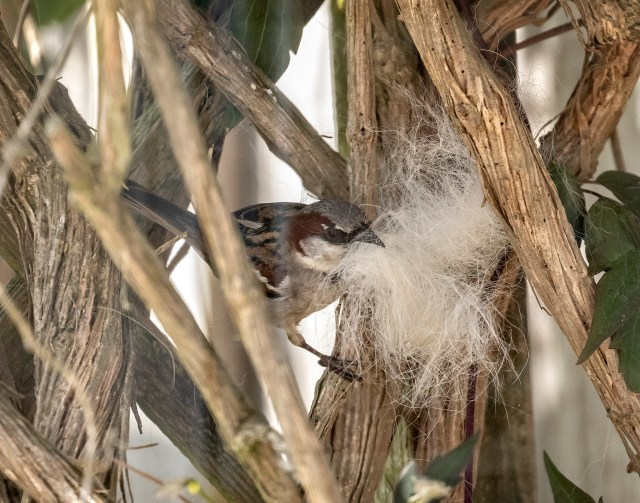 Male Sparrow helping himself to Tilly's fur.