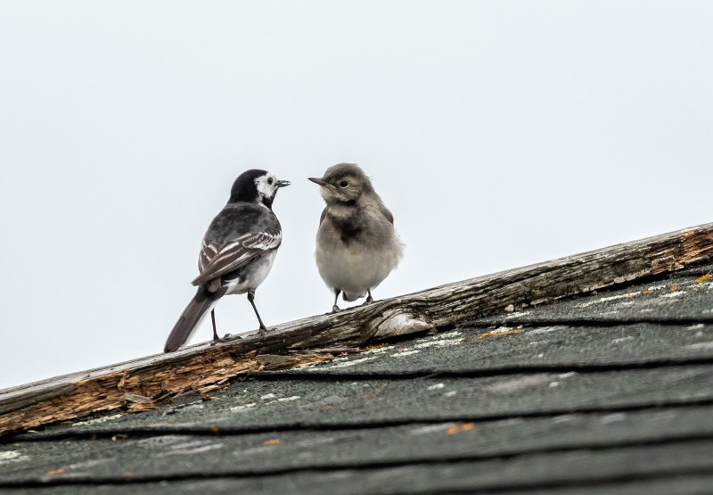 Adult Pied Wagtail with fledgling on our garage roof.