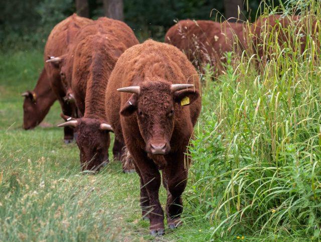 Cows grazing Badbury Rings