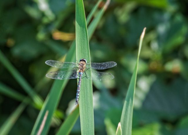 Migrant Hawker Dragonfly (Possibly!)
