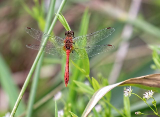 Ruddy Darter Dragonfly
