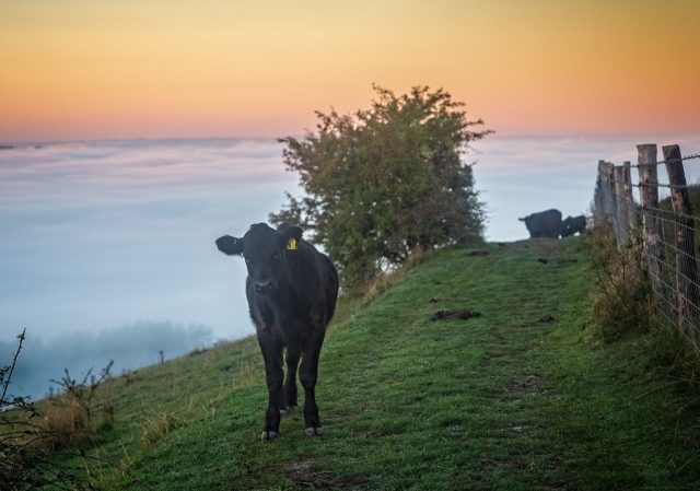 Cows on Hambledon Hill