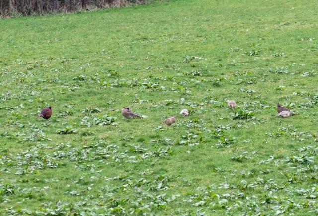 Pheasant Family