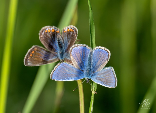 Male and Female Common Blue Butterfly