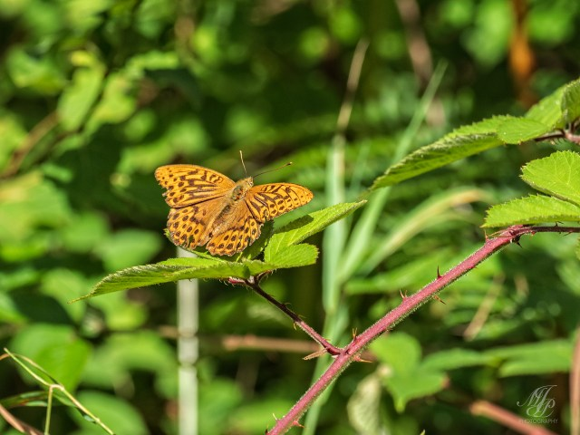 Silver Washed Fritillary Butterfly