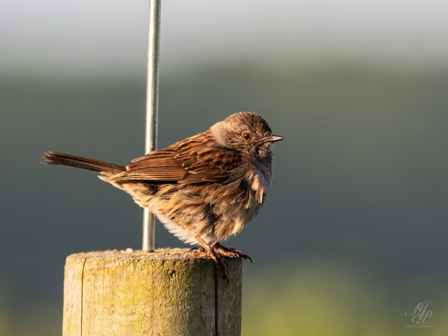 Dunnock youngster