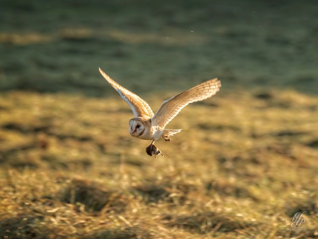 Barn Owl with Vole