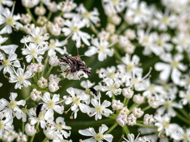 Nettle Top Moth (possibly)