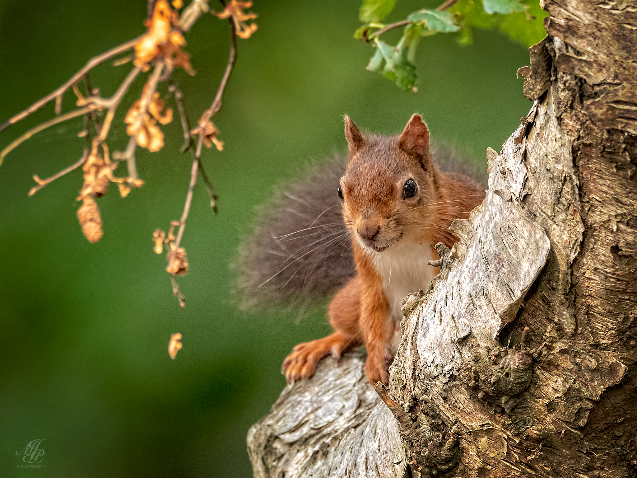 Red Squirrels, Brownsea Island