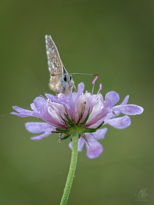 Adonis Blue on Field Scabious