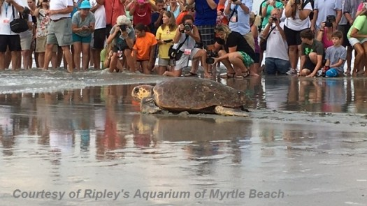 ripleys aquarium of Myrtle Beach, loggerhead seaturtle, aquarium, myrtle beach packages, myrtle beach deals, attractions in myrtle beach