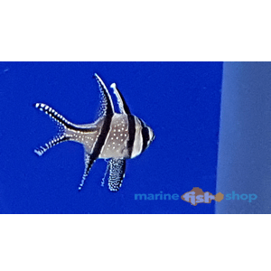 Banggai Cardinal Fish available at marine fish shop
