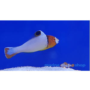 clown parrotfish available at marine fish shop