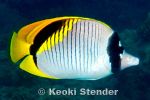 Lined Butterflyfish Chaetodon Lineolatus