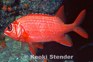Bluestripe or Tahitian Squirrelfish, Sargocentron tiere