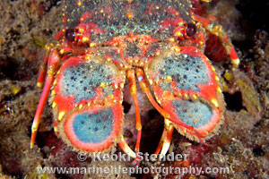 Regal Slipper Lobster, Arctides regalis