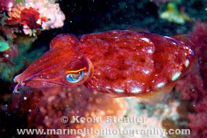 Phylum Mollusca Cephalopods