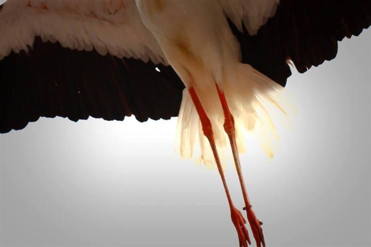 détail des pattes d'un cigogne au grand parc du puy du fou