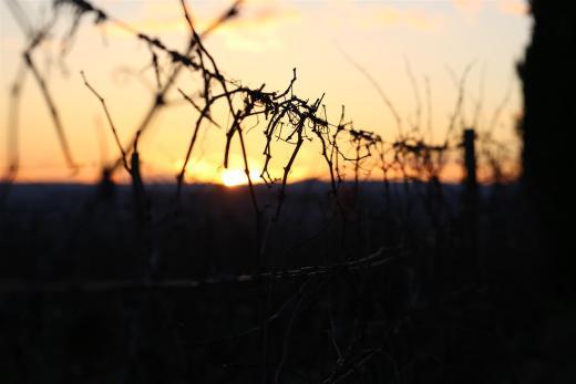 coucher de soleil dans les vignes