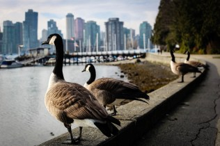 photo of some gooses in Vancouver