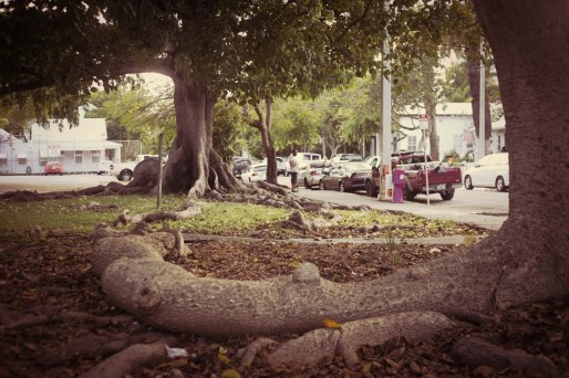 big roots in Key West