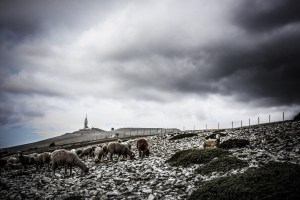 Some sheep grazing at The peak of Mount Ventoux