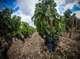 Les vignes du Médoc avant la récolte