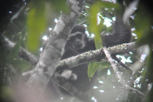Khao Yai gibbon 2