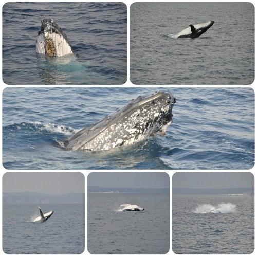 Baleines Hervey Bay 0809