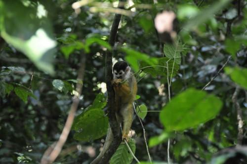 Corcovado_singe-ecureuil