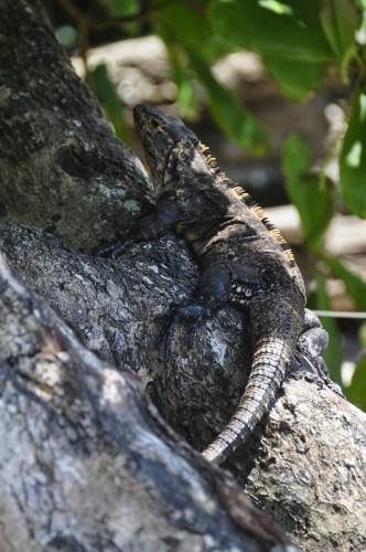 Iguane 2